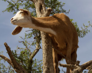Land of the Tree-Climbing Goats