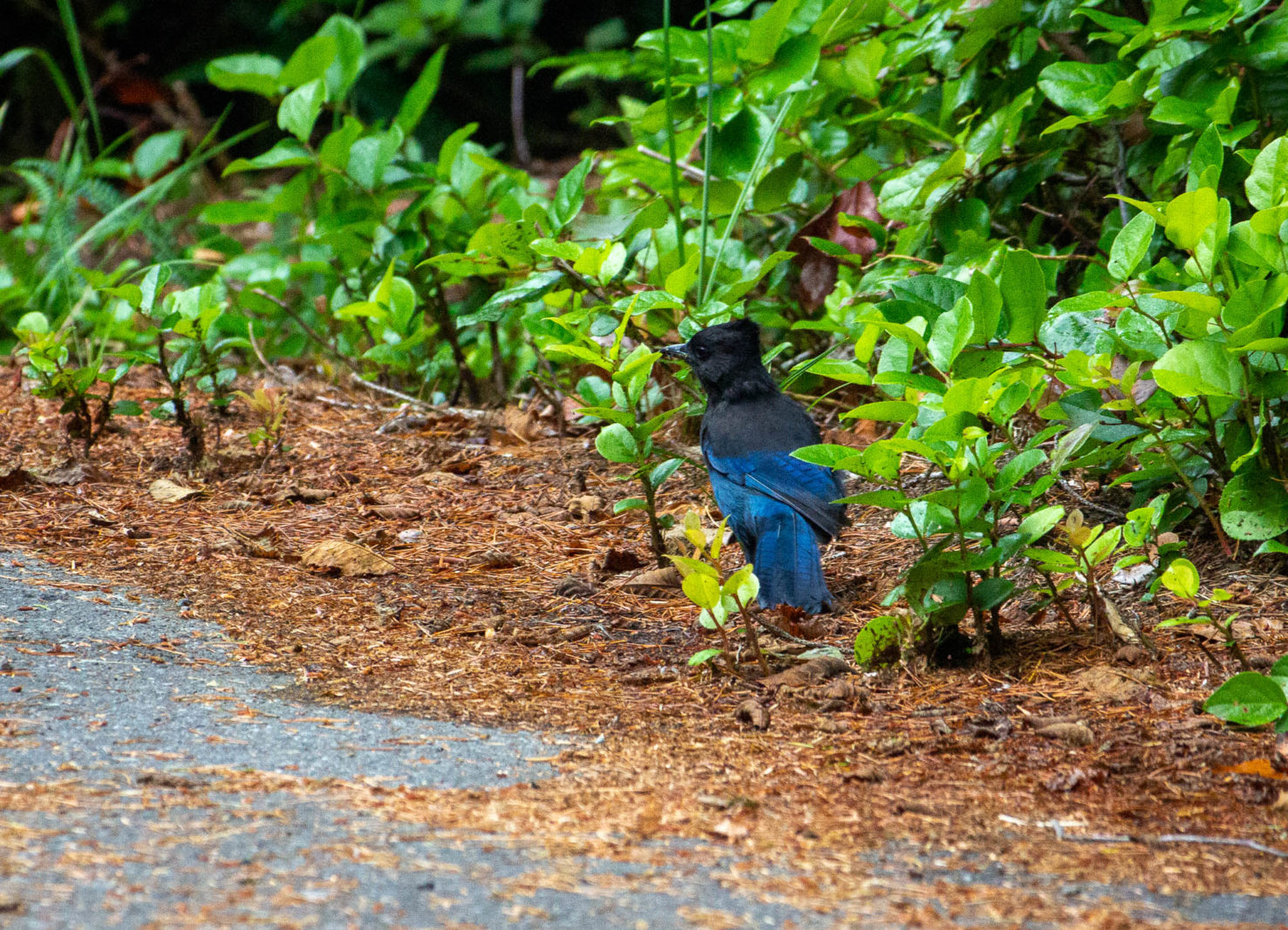 Steller's Jay at Shorepine Bog, Pacific Rim National Park