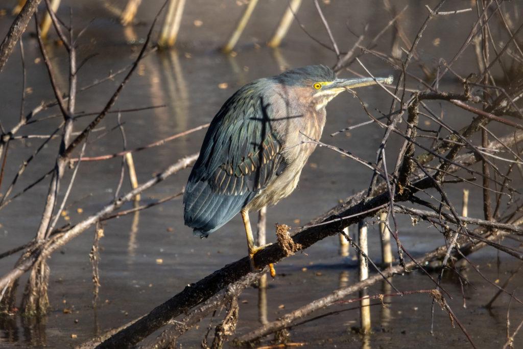 Green Heron at Magee Marsh